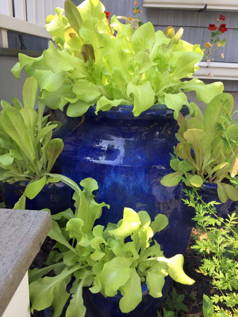 Green lettuce in a cobalt blue clay strawberry jar