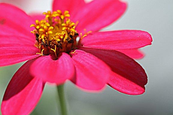 Hot pink zinnia elegans