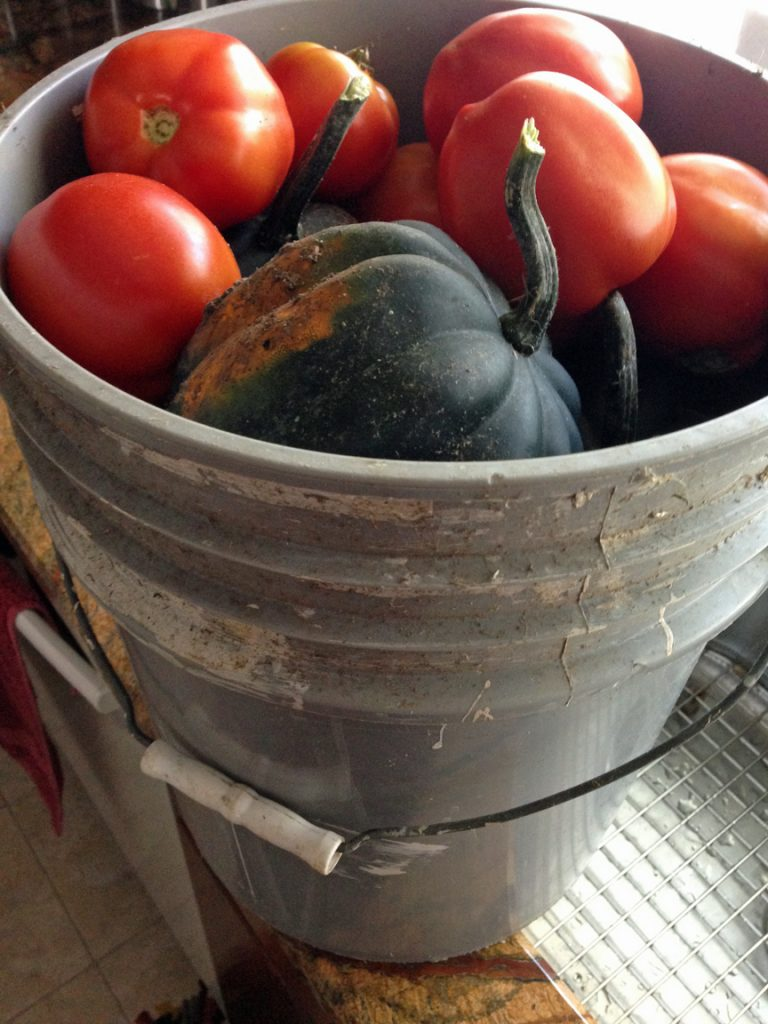 5 gallon bucket filled with tomatoes and acorn squash