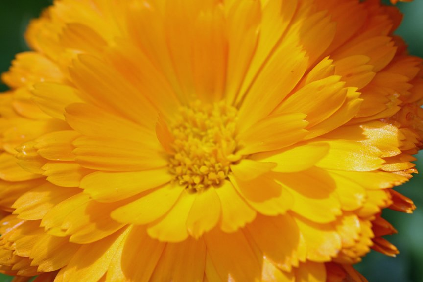 Yellow pot marigold - Calendula officinalis