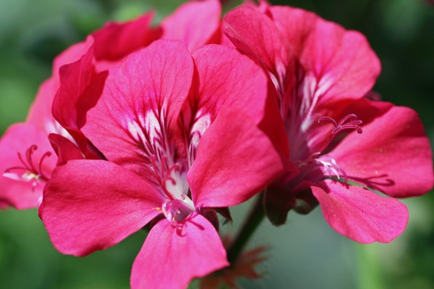 Hot pink geranium - Pelargonium x hortorum
