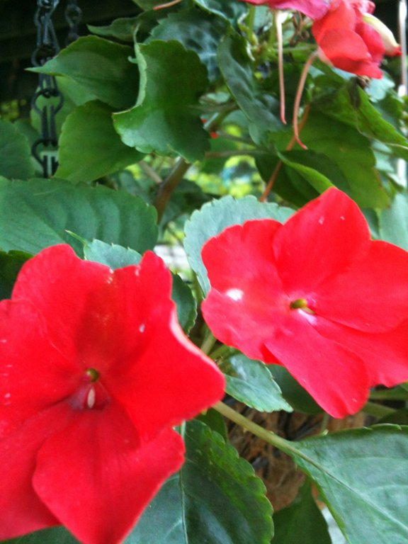 Red impatiens - impatiens wallerana