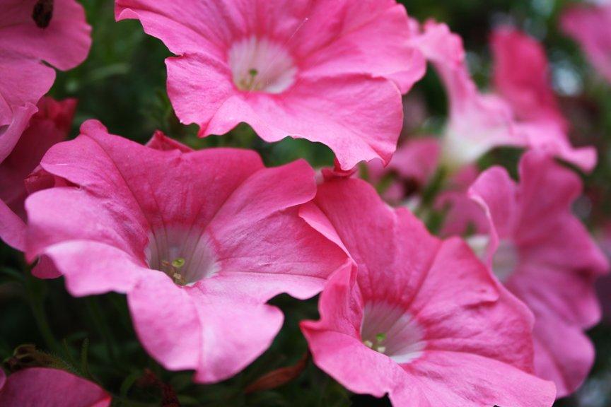 Pink petunia x hybrida