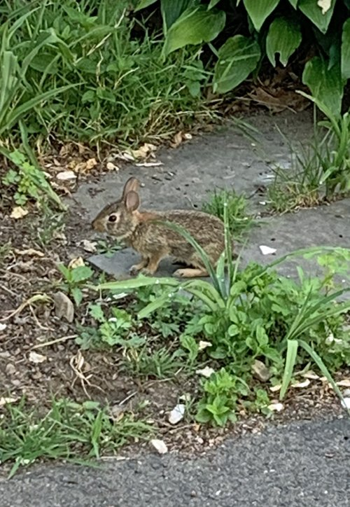 Wild cotton-tail rabbit that has been eating vegetable plants in the garden