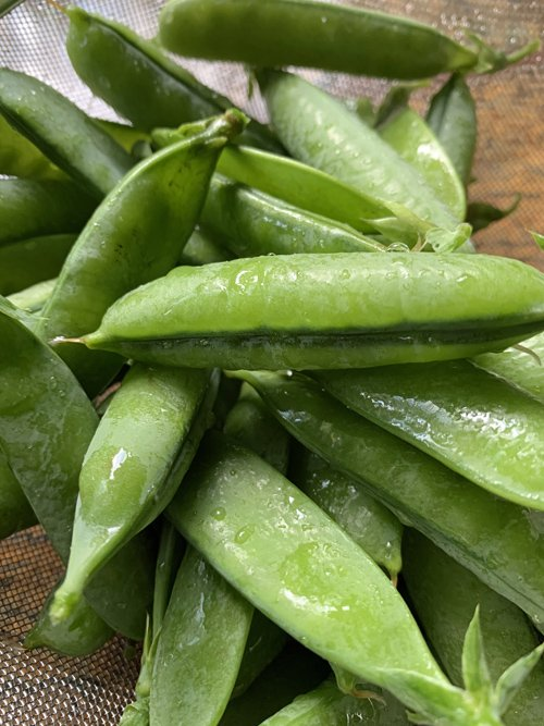 A few pea pods that were salvaged from the animal-eaten vegetable garden