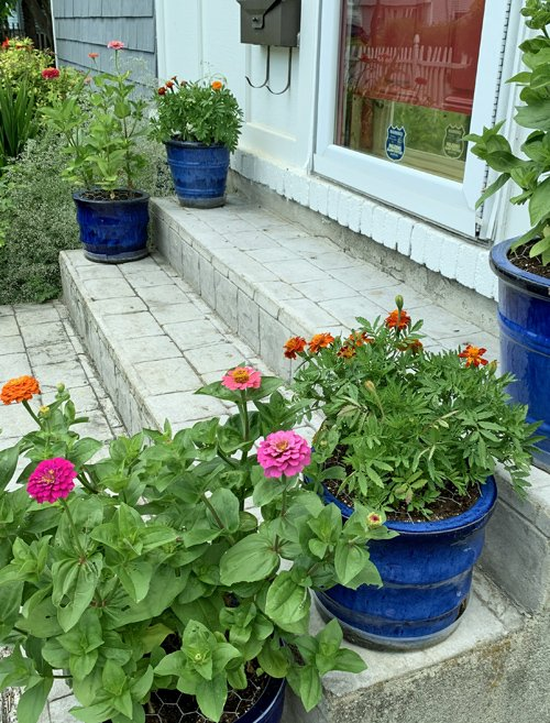 Cobalt blue ceramic planters filled with zinnias and marigolds, and the soil is covered with chickenwire to deter the squirrels from digging