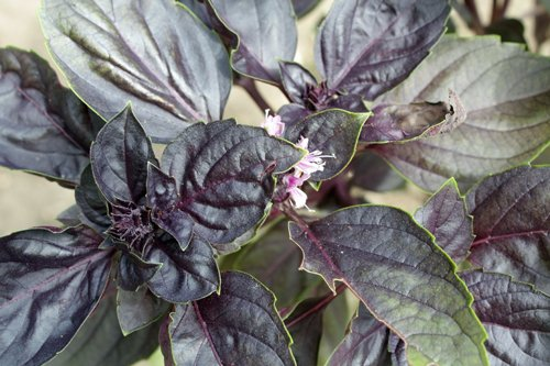 Deep purple-black leave of an opal basil plant