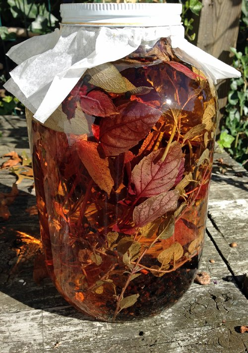 Herbs stuffed into a large, clear glass jar and steeping in white vinegar